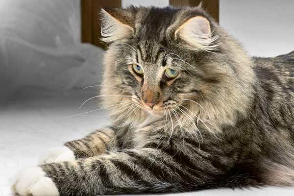 Tierkommunikation mit Kim – Norw. Waldkatze Mix, 3 Jahre alt, kastriert
