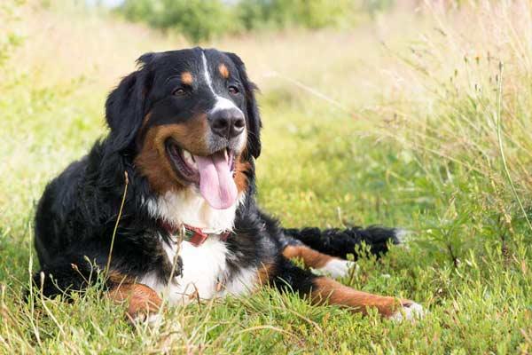 Tierkommunikation mit Selma – Berner Sennen Hündin, 15 Monate alt